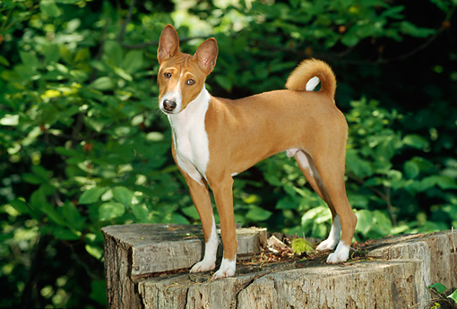 PUP 21 CE0002 01 © Kimball Stock Basenji Puppy Standing On Stump By Trees