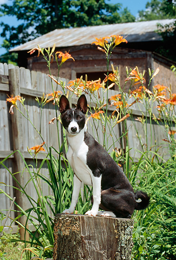 PUP 21 CE0003 01 © Kimball Stock Basenji Puppy Sitting On Stump By Flowers Fence And Building