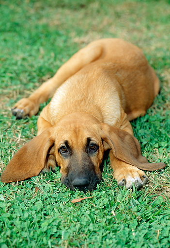 PUP 21 CE0004 01 © Kimball Stock Bloodhound Puppy Laying On Grass Facing Camera