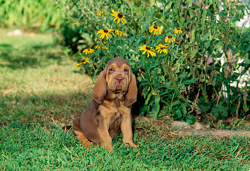 PUP 21 CE0005 01 © Kimball Stock Bloodhound Puppy Sitting On Grass By Flowers