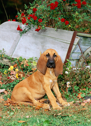 PUP 21 CE0006 01 © Kimball Stock Bloodhound Puppy Sitting On Grass By Flowers And Cart