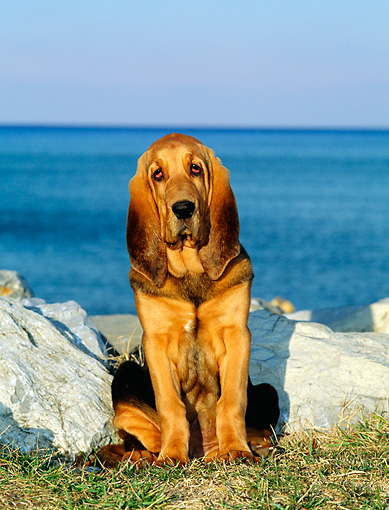 PUP 21 CE0007 01 © Kimball Stock Bloodhound Puppy Sitting On Grass By Rocks And Water