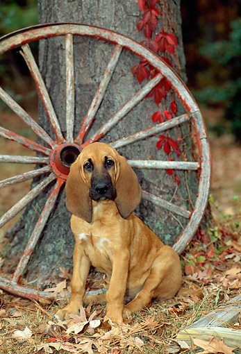 PUP 21 CE0010 01 © Kimball Stock Bloodhound Puppy Sitting On Leaves By Wagon Wheel And Tree