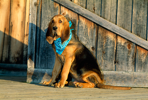 PUP 21 CE0013 01 © Kimball Stock Bloodhound Puppy Wearing Blue Bandana Sitting On Deck By Wall