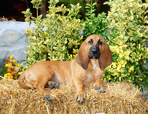 PUP 21 CE0014 01 © Kimball Stock Bloodhound Puppy Laying On Hay Bale By Shrub