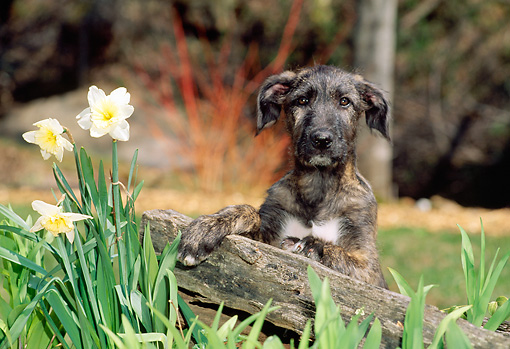 PUP 21 CE0016 01 © Kimball Stock Irish Wolfhound Puppy Sitting Behind Fence By Flowers