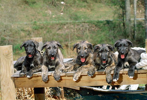 PUP 21 CE0017 01 © Kimball Stock Five Irish Wolfhound Puppies Laying On Dock