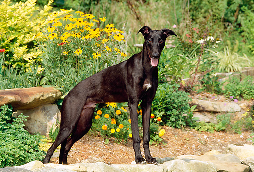 PUP 21 CE0018 01 © Kimball Stock Greyhound Puppy Standing On Stone Wall By Yellow Flowers