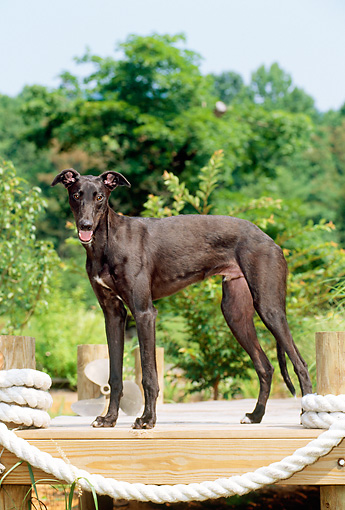 PUP 21 CE0019 01 © Kimball Stock Greyhound Puppy Standing On Dock By Trees Blue Sky