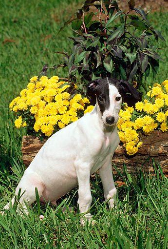 PUP 21 CE0021 01 © Kimball Stock Greyhound Puppy Sitting On Grass By Flowers And Log