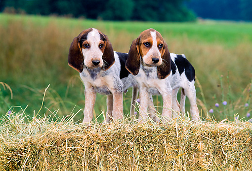 PUP 21 CE0029 01 © Kimball Stock Pennmarydel Foxhound Puppies Standing On Hay Bale