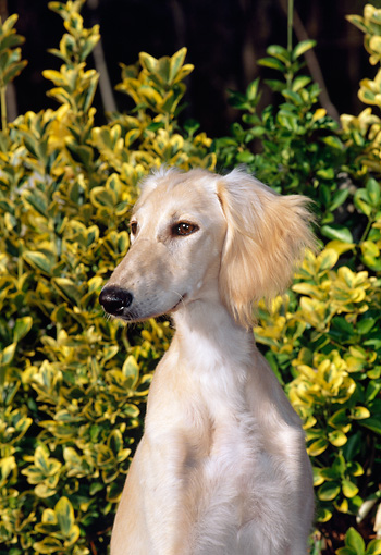 PUP 21 CE0031 01 © Kimball Stock Shoulder Shot Of Feathered Saluki Puppy Sitting In Field With Yellow Wildflowers