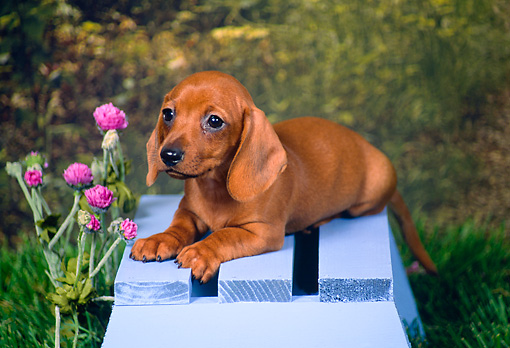 PUP 21 FA0001 01 © Kimball Stock Shorthair Dachshund Puppy Laying On Blue Bench By Purple Flowers