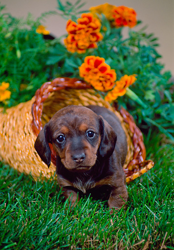PUP 21 FA0002 01 © Kimball Stock Shorthair Dachshund Puppy Standing On Grass By Orange Flowers