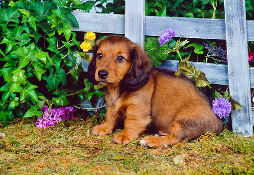 PUP 21 FA0006 01 © Kimball Stock Longhair Dachshund Puppy Sitting On Grass By Wooden Fence And Flowers
