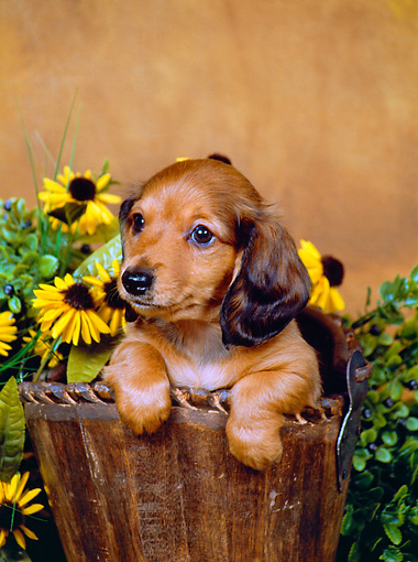PUP 21 FA0007 01 © Kimball Stock Longhair Dachshund Puppy Sitting In Wooden Bucket By Flowers Studio