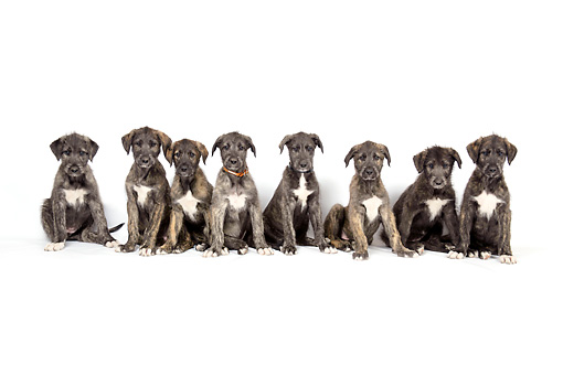 PUP 21 JD0001 01 © Kimball Stock Eight Irish Wolfhound Puppies Sitting On White Seamless