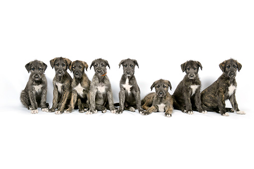 PUP 21 JD0002 01 © Kimball Stock Eight Irish Wolfhound Puppies Sitting And Laying On White Seamless