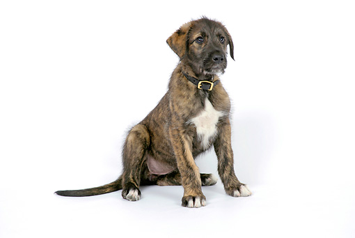 PUP 21 JD0003 01 © Kimball Stock Irish Wolfhound Puppy Sitting On White Seamless