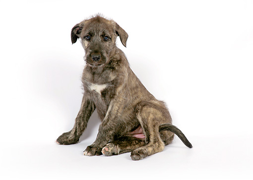 PUP 21 JD0004 01 © Kimball Stock Irish Wolfhound Puppy Sitting On White Seamless