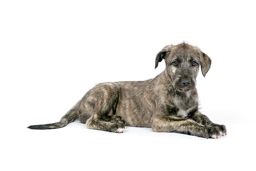 PUP 21 JD0006 01 © Kimball Stock Irish Wolfhound Puppy Laying On White Seamless