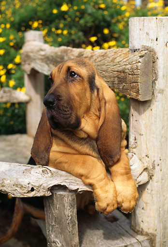 PUP 21 RC0002 01 © Kimball Stock Head Shot Of Bloodhound Puppy Laying On Bench By Shrub Yellow Flowers