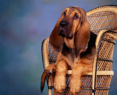 PUP 21 RK0002 02 © Kimball Stock Bloodhound Puppy Sitting In Wicker Chair Facing Camera Mottled Background