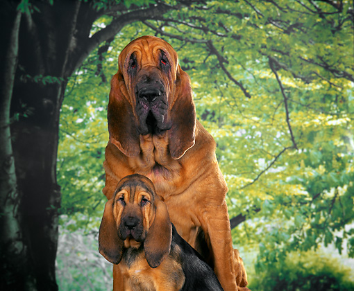 PUP 21 RK0003 01 © Kimball Stock Mother And Puppy Bloodhound Sitting By Green Tree Background