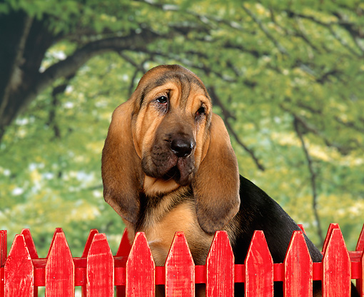 PUP 21 RK0004 01 © Kimball Stock Shoulder Shot Of Bloodhound Puppy Sitting Behind Red Fence Green Tree Background Studio