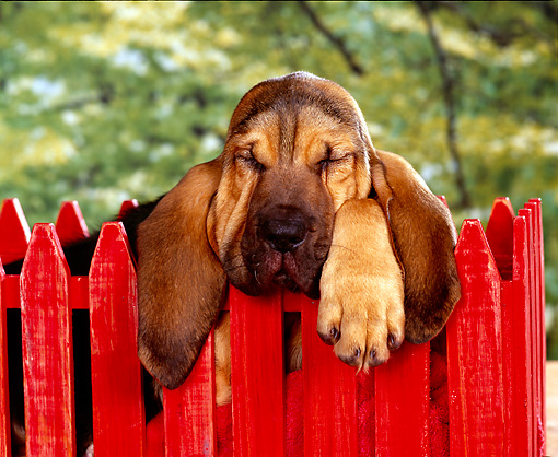 PUP 21 RK0005 17 © Kimball Stock Head Shot Of Bloodhound Puppy Leaning On Red Fence Studio