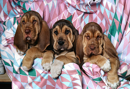 PUP 21 RK0018 03 © Kimball Stock Head Shots Of Three Bloodhound Puppies Laying Together In Sheet
