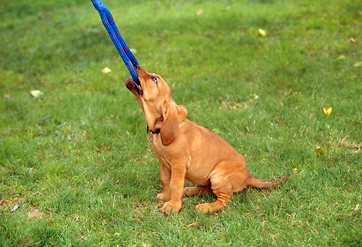 PUP 21 RK0030 11 © Kimball Stock Bloodhound Puppy Pulling On Rope