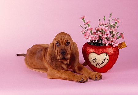 PUP 21 RK0038 03 © Kimball Stock Bloodhound Puppy Laying Next To Flowers In Heart Vase Pink Seamless