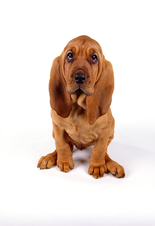 PUP 21 RK0039 23 © Kimball Stock Wide Angle Of Bloodhound PUppy Sitting On White Seamless Facing Camera