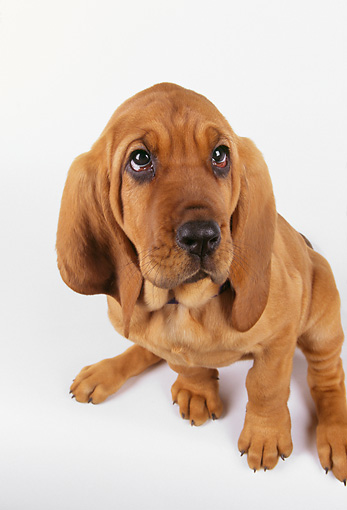 PUP 21 RK0040 01 © Kimball Stock Bloodhound Puppy Sitting On White Seamless
