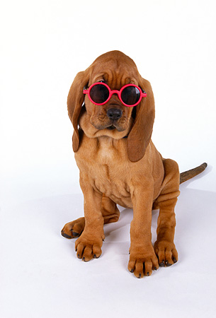 PUP 21 RK0041 02 © Kimball Stock Bloodhound Puppy Sitting On White Seamless Background