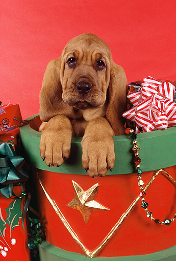 PUP 21 RK0047 01 © Kimball Stock Head Shot Of Bloodhound Puppy Sitting In Christmas Drum Red Seamless