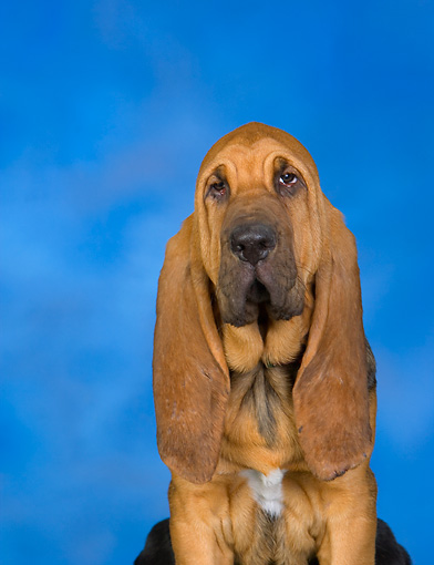 PUP 21 RK0053 01 © Kimball Stock Bloodhound Puppy Sitting Studio