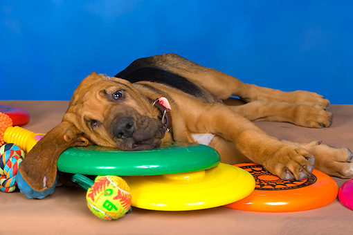 PUP 21 RK0055 01 © Kimball Stock Bloodhound Puppy Laying On Toys Studio