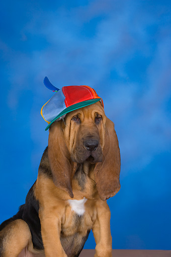 PUP 21 RK0058 01 © Kimball Stock Bloodhound Puppy Wearing Hat Studio