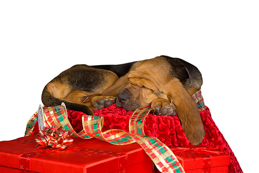 PUP 21 RK0060 01 © Kimball Stock Bloodhound Puppy Sleeping On Christmas Decorations