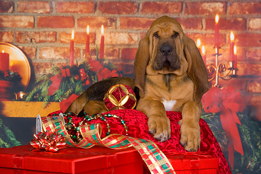 PUP 21 RK0061 01 © Kimball Stock Bloodhound Puppy Laying Christmas Setting Studio