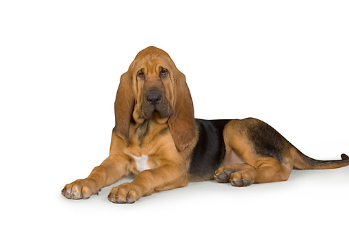 PUP 21 RK0063 01 © Kimball Stock Bloodhound Laying On White Seamless Studio