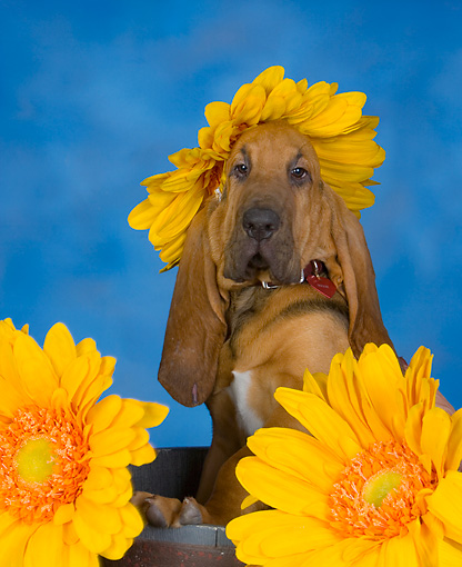 PUP 21 RK0064 01 © Kimball Stock Humorous Shot Of Bloodhound Puppy With Sunflower On Head Studio