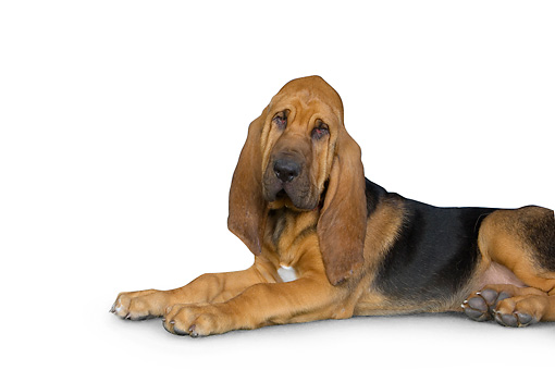 PUP 21 RK0065 01 © Kimball Stock Bloodhound Laying On White Seamless Studio