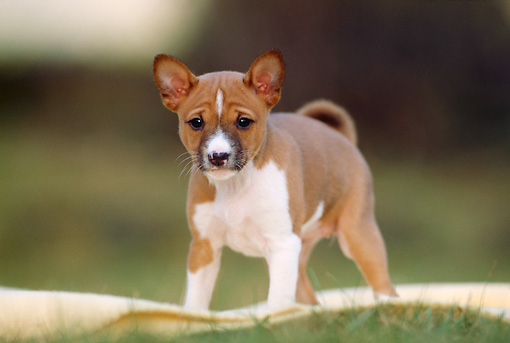 PUP 21 SS0001 01 © Kimball Stock Basenji Puppy Standing On Yellow Blanket On Grass