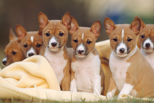 PUP 21 SS0002 01 © Kimball Stock Basenji Puppies Sitting On Yellow Blanket On Grass