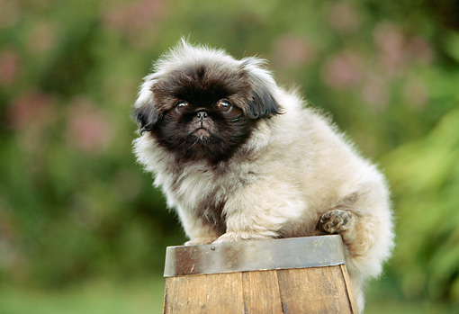 PUP 22 RK0007 11 © Kimball Stock Pekingese Puppy Sitting On Top Of Wooden Barrel