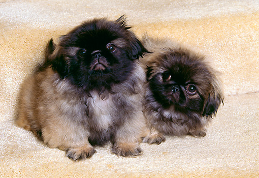 PUP 22 RK0016 02 © Kimball Stock Two Pekingese Puppies Sitting Together On Stairs