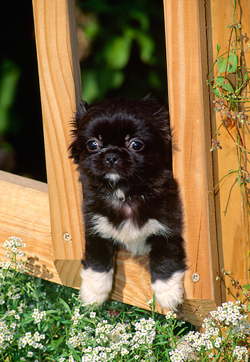 PUP 22 CE0001 01 © Kimball Stock Pekingese Puppy Peeking Through Fence By Alyssum Flowers